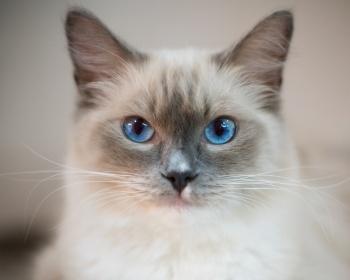 ragdoll кошки