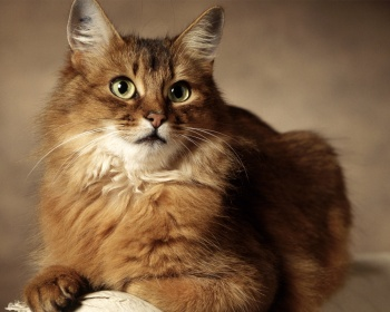 Сомалийская кошка (сомали) Somali, Fox Cat, Long-Haired Abyssinian