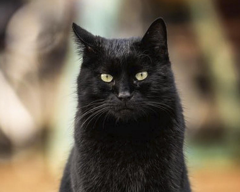 черные коты порода повод
