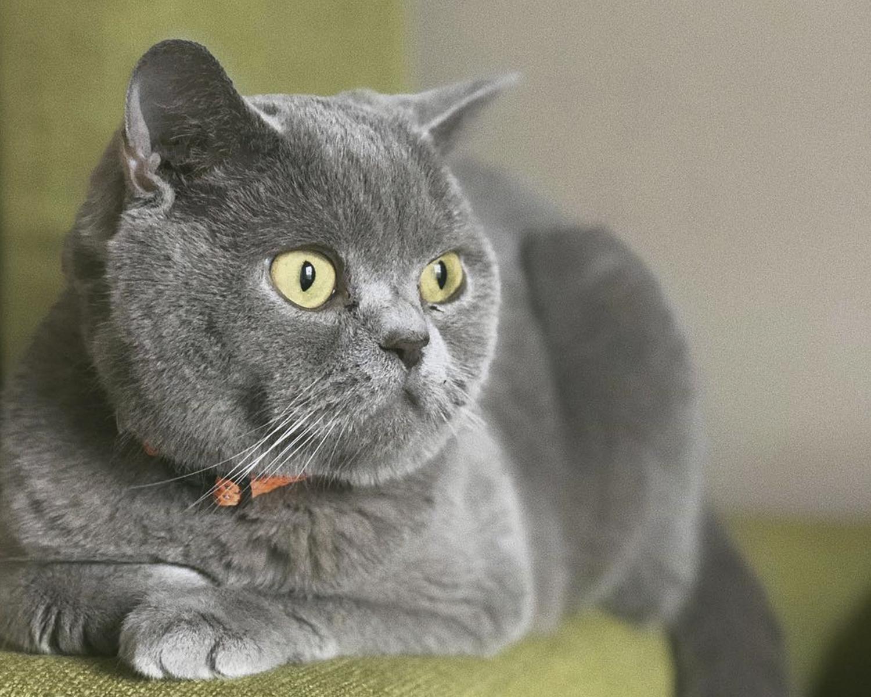 Британские коты характер