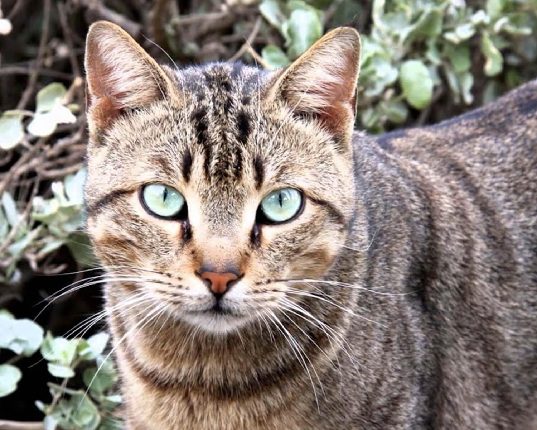 Порода кошек фото китайская ли хуа