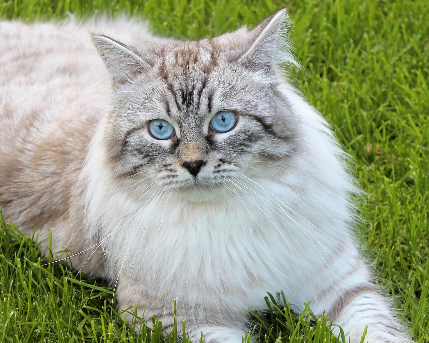 порода кошек сибирская маскарадная фото скромничает балует