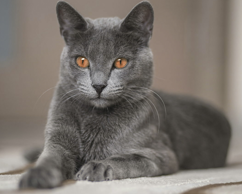Фото русских пород кошек
