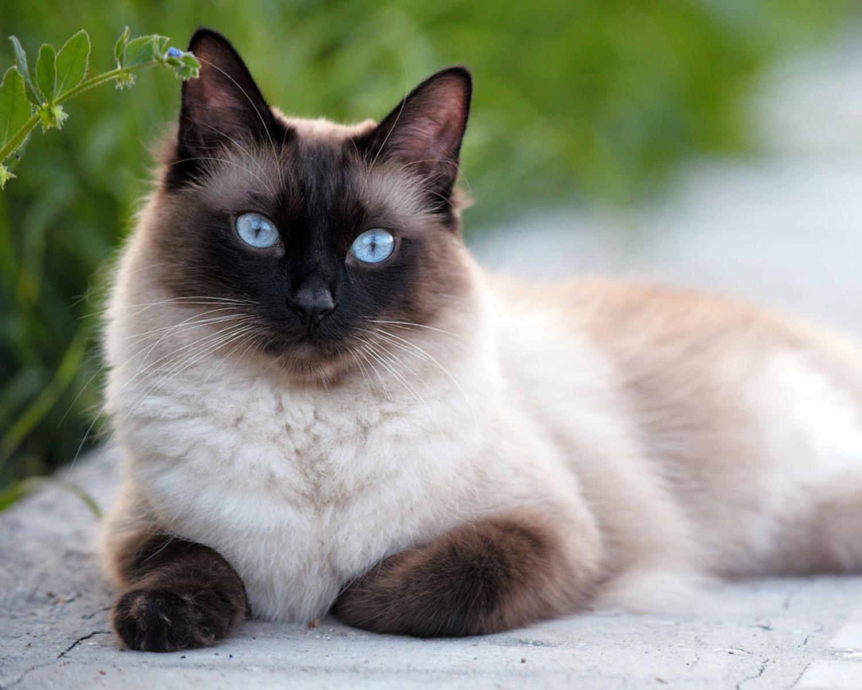 картинки сиамские что за кошки рос развивался