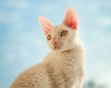 Корниш рекс Cornish Rex