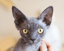 Девон рекс Devon Rex, Pixie cat, Alien cat, Poodle cat