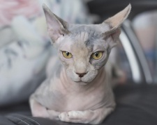Канадский сфинкс Sphynx, Canadian Hairless, Canadian Sphynx
