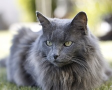 Нибелунг Nebelung, Longhaired Russian Blue