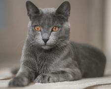 Русская голубая кошка Russian Blue, Archangel Blue, Archangel Cat