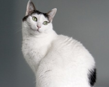 Японский бобтейл Japanese Bobtail, Japanese Truncated Cat