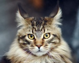 Мейн кун Maine Coon, Maine Cat, Coon Cat, Maine Shag, Snowshoe Cat, American Longhair, The Gentle Giants