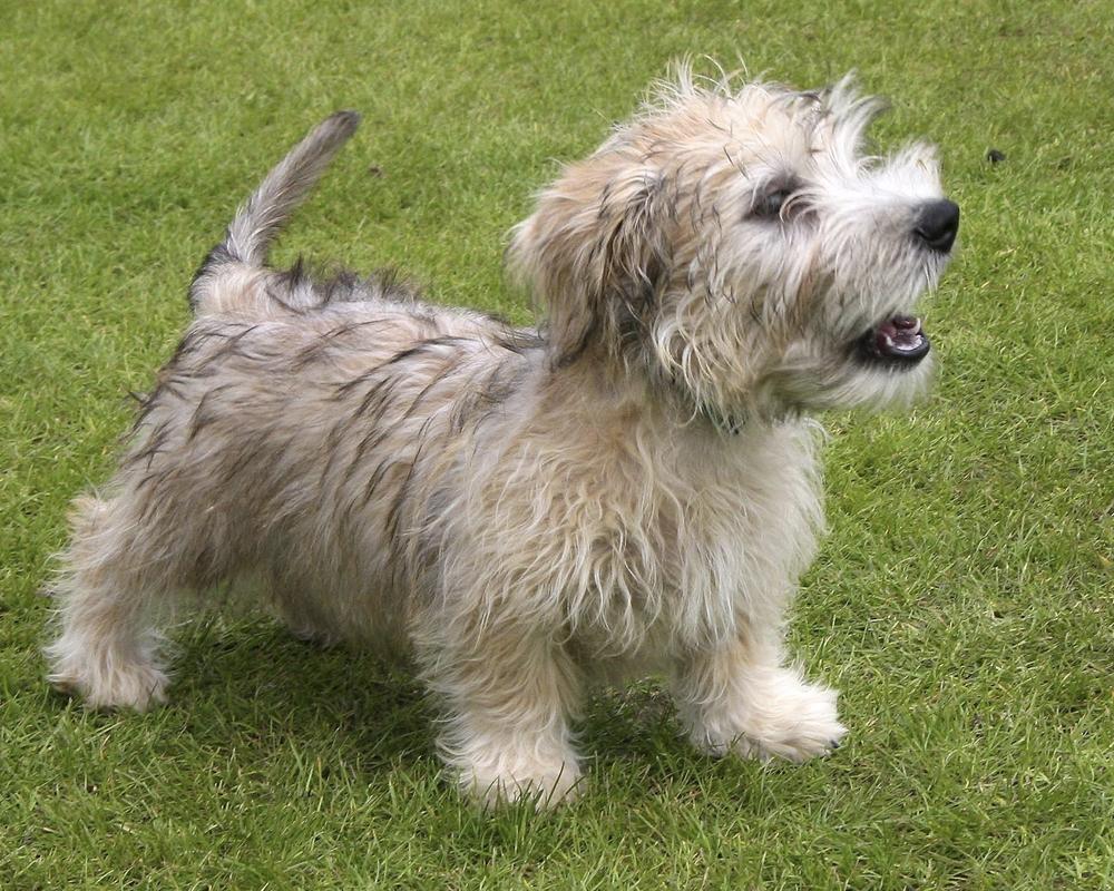 Зенненхунды описание швейцарской породы собак характер