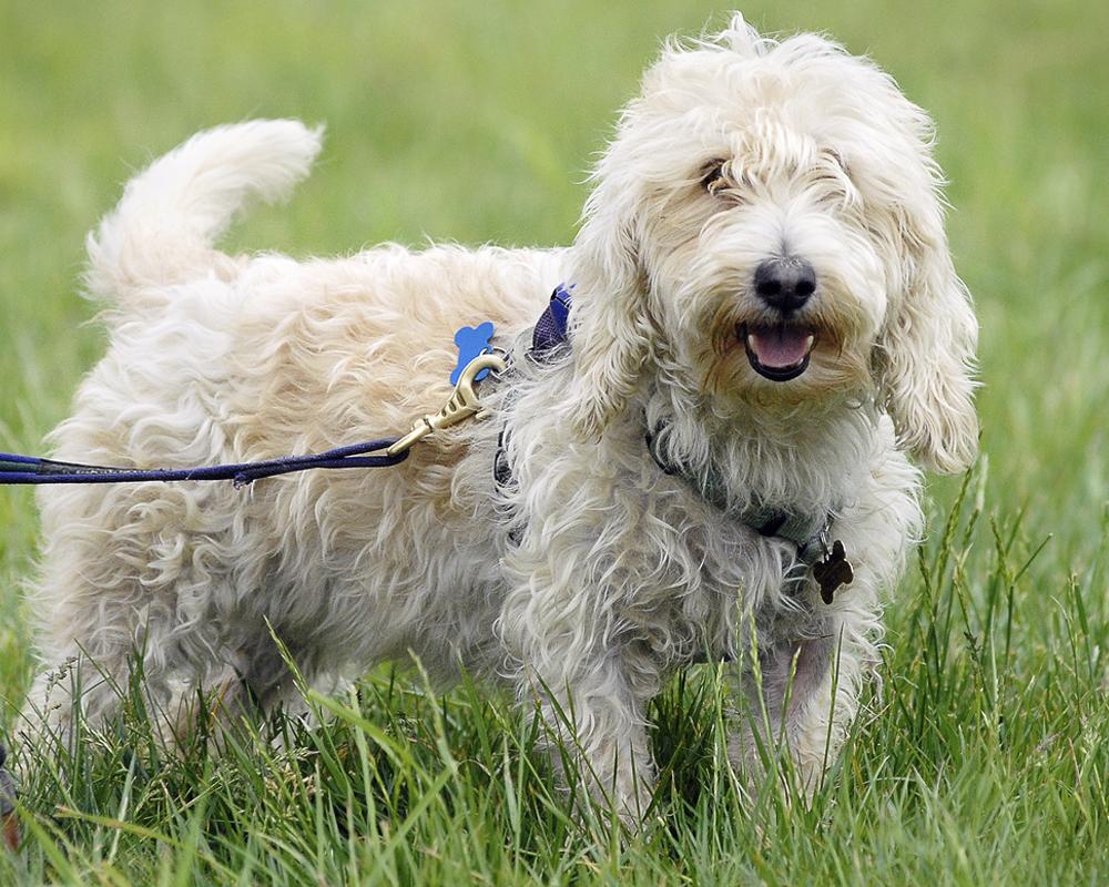 Grand basset griffon vendeen puppies