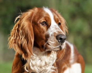 Вельш спрингер-спаниель Welsh Springer Spaniel, Welsh Springer, Welsh Cocker Spaniel, Welsh Starter, Welshie