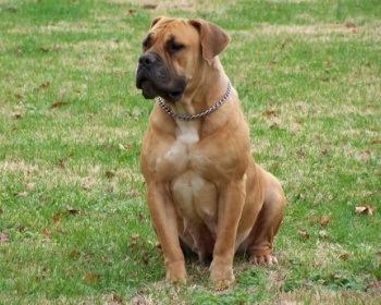 Бурбуль South African Boerboel, South African Mastiff, Boerboel
