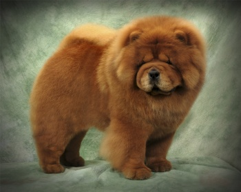 картинки породы собаки чау-чау