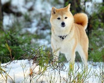 акита ину характер собаки
