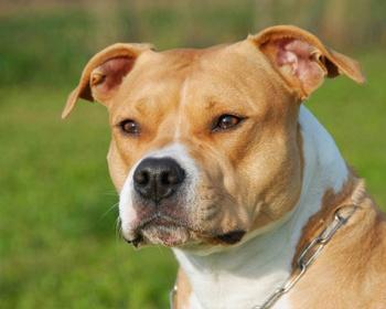 породы собак стаффордширский терьер