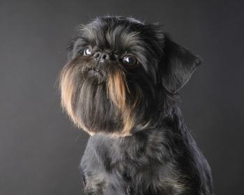 собака гриффон