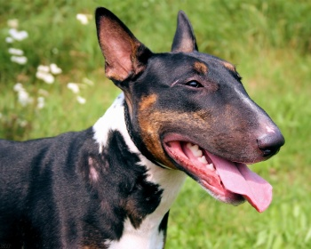 Бультерьер (буль) Bull terrier, English Bull Terrier, Bully, Gladiator