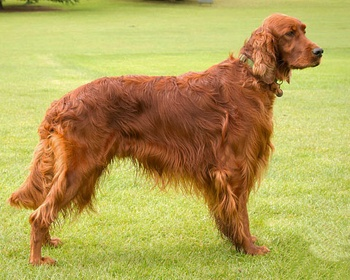 Ирландский красный сеттер Irish Setter, Red Setter, Irish Red Setter
