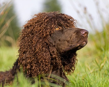 Ирландский водяной спаниель Irish Water Spaniel, Whiptail, Shannon Spaniel, Rat Tail Spaniel, Bog Dog