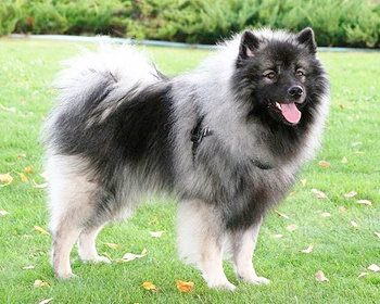 Вольф-шпиц (Кеесхонд) Keeshond, Dutch Barge Dog, Chien Loup, German Spitz, Wolfsspitz