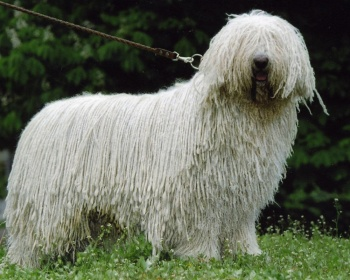 Комондор Komondor, Hungarian Komondor, Hungarian Sheepdog, Mop Dog