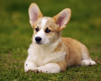 корги порода собак характеристика