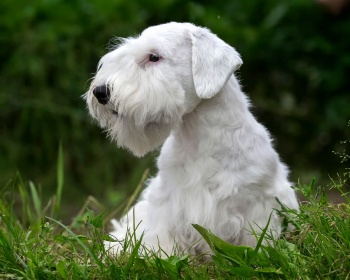 Силихем-терьер Sealyham Terrier, Welsh Border Terrier, Cowley Terrier