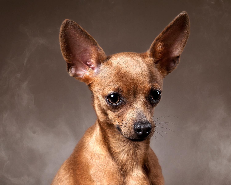 картинка маленькая собачка той терьер