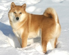 Сиба Ину (шиба ину) Shiba Inu, Japanese Shiba Inu, Japanese Small Size Dog, Shiba Ken, Shiba