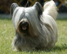 Скай терьер Skye Terrier, Scottish Terrier, Skye Terrier Hybrid Dogs