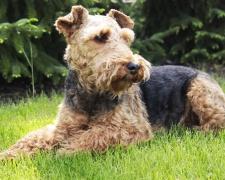 Вельштерьер (валлийский терьер) Welsh Terrier, Welshie, WT
