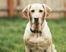 Лабрадор ретривер Labrador Retriever