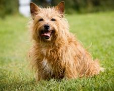 Австралийский терьер Australian Terrier, Aussie