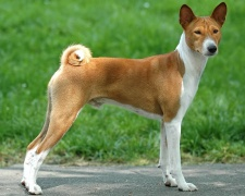 Басенджи Basenji, African Bush Dog, African Barkless Dog, Ango Angari, Congo Dog, Zande Dog