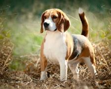 Бигль Beagle, English Beagle