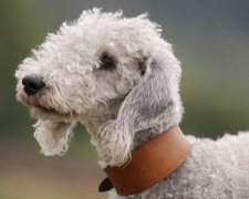 Бедлингтон терьер Bedlington Terrier, Rothbury Terrier, Rodbery Terrier