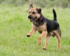 Бордер терьер Border Terrier
