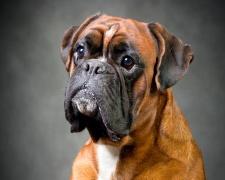 Боксер Boxer, German Boxer, Deutscher Boxer