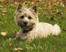 Керн терьер Cairn Terrier