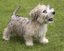 Ирландский глен оф имаал терьер (Гленс) Glen of Imaal Terrier, Irish Glen of Imaal Terrier, Glen