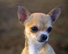 Чихуахуа Chihuahua