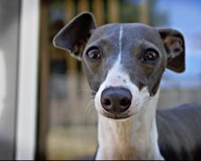 Левретка (итальянский грейхаунд) Italian Greyhound, Petit Levrier Italiane, Piccolo Levriero Italiano, Italienisches Windspiel, Galgo italiano