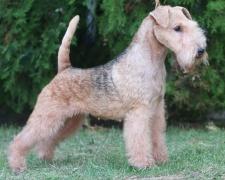 Лейкленд терьер Lakeland Terrier