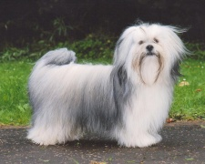 Лхасский апсо (Лхаса Апсо) Lhasa Apso, Lhasa, Tibet Lhasa lion dog, Tibet dog Yabusu