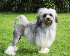 Лоучен (Бишон-Лион) Lowchen, Petit Chien Lion, Little Lion Dog