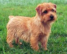 Норфолк терьер Norfolk Terrier
