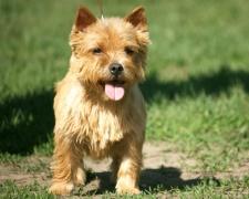Норвич терьер (норидж терьер) Norwich Terrier